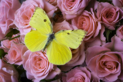 Yellow Butterfly On Spray Of Roses Art Print by Garry Gay