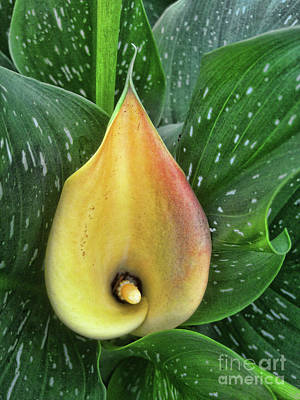 Photograph - Yellow Calla Lily by Steven Parker