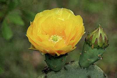 Photograph - Yellow Cactus Flower by Cathy Harper
