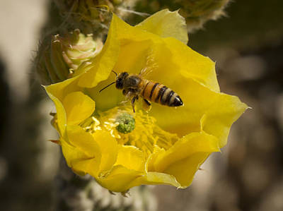 Photograph - Yellow Cactus Flower With Wasp by Jean Noren