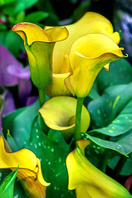 Of Autumn Photograph - Yellow Calla Lilies by Az Jackson