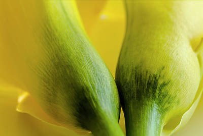 Photograph - Yellow Calla Lily Flowers by Teri Virbickis