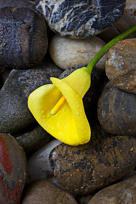 Dew Photograph - Yellow Calla Lily On Rocks by Garry Gay