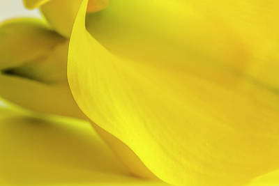 Photograph - Yellow Calla Lily by Teri Virbickis