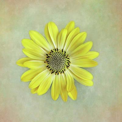 Photograph - Yellow Cape Daisy by David and Carol Kelly
