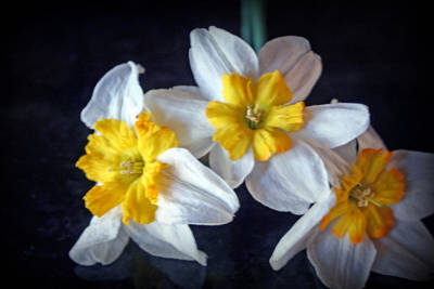 Photograph - Yellow Centered Daffodils   by Kay Novy
