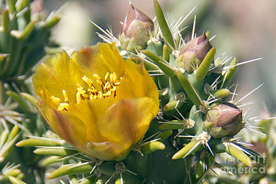Photograph - Yellow Cholla Flower by Kelly Holm