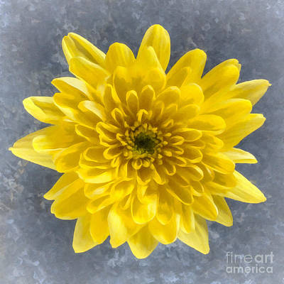 Digital Art - Yellow Chrysanthemum Flower by Liz Leyden
