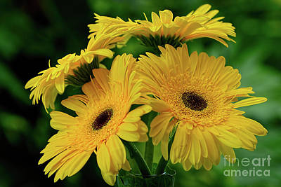 Print featuring the photograph Yellow Chrysanthemums By Kaye Menner by Kaye Menner