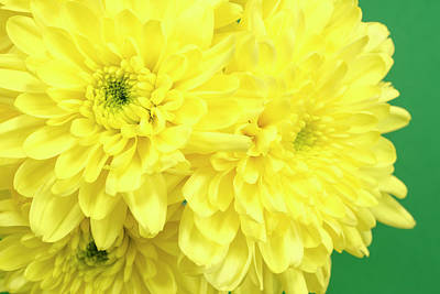Chris Walter Rock N Roll - Yellow Chrysanthemums on a green background. by Paul Cullen