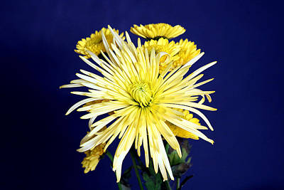 Photograph - Yellow Chrysanthemums On Blue by Sheila Brown