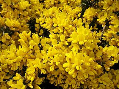 Photograph - Yellow Clifftop Gorse by Richard Brookes