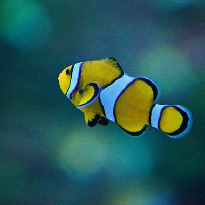Clown Fish Photograph - Yellow Clown Fish by Eric Tressler