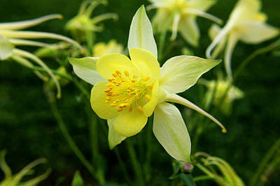 Photograph - Yellow Columbine 3 by Judy Vincent