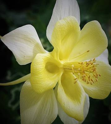 Photograph - Yellow Columbine by Bruce Bley