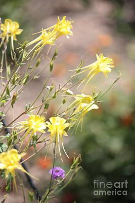 Photograph - Yellow Columbine Flower In Sunlight by Carol Groenen