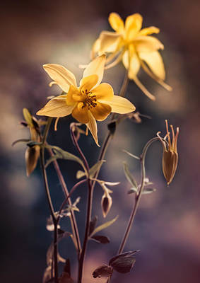 Photograph - Yellow Columbine Flowers At Sunset by Jaroslaw Blaminsky