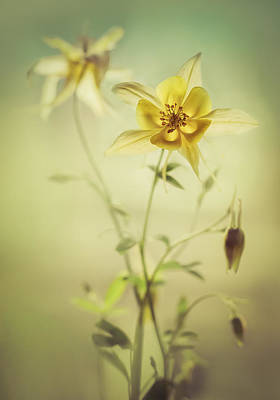 Photograph - Yellow Columbine Flowers by Jaroslaw Blaminsky