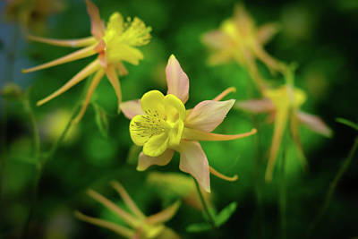 Photograph - Yellow Columbine by Monte Stevens