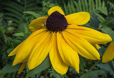 Photograph - Yellow Coneflower by Arlene Carmel