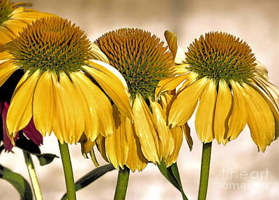 Photograph - Yellow Coneflowers by Janice Drew