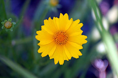 The Rolling Stones - Yellow Coreopsis Flower  by Karen Adams