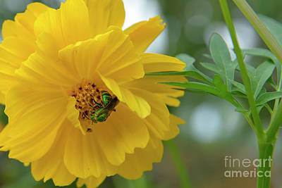 Photograph - Yellow Cosmos Flower by Olga Hamilton