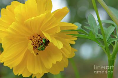 Photograph - Yellow Cosmos Flower by Olga Hamilton