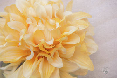 Photograph - Yellow Creamsicle by Pamela Williams