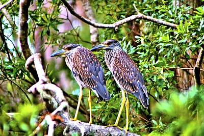 Photograph - Yellow Crested Night Herons by James Potts