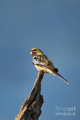 Photograph - Yellow Crimson Rosella by Douglas Barnard