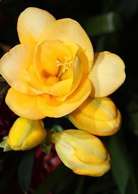 Yellow Crocus Closeup Print by Carol Groenen