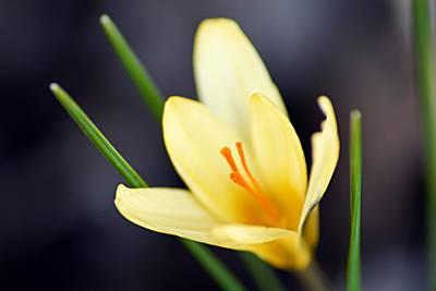 Crocus Photograph - Yellow Crocus by Larry Ricker