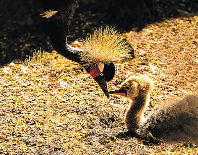 Photograph - Yellow Crowned Crane Feeding Her Chick by William Bitman
