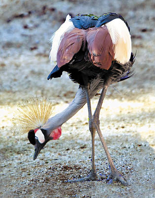 Photograph - Yellow Crowned Crane Profile Standing by William Bitman