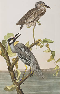 Heron Painting - Yellow Crowned Heron by John James Audubon