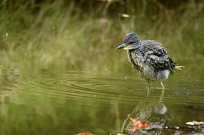 Photograph - Yellow-crowned Night Heron 2 by Ann Bridges