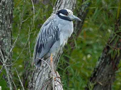 Photograph - Yellow-crowned Night Heron 4 by Paula Ponath