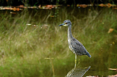 Photograph - Yellow Crowned Night Heron by Ann Bridges