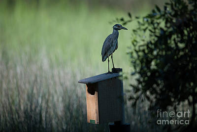 Photograph - Yellow Crowned Night Heron Atop Duck House by Dale Powell