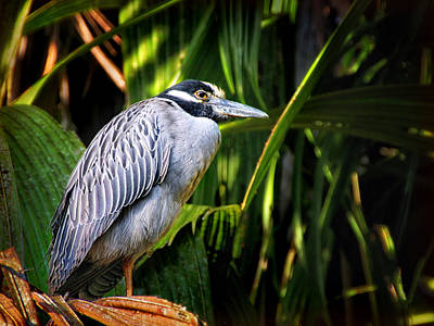Photograph - Yellow-crowned Night Heron by Carolyn Derstine