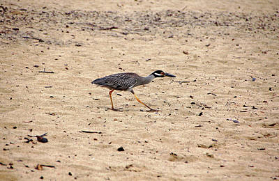 Photograph - Yellow Crowned Night Heron by Debbie Oppermann