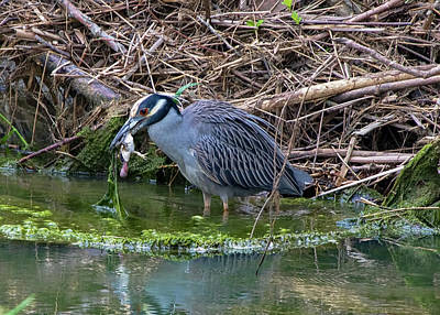 Photograph - Yellow-crowned Night Heron - Feeding by Ron Grafe