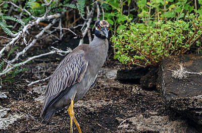 Photograph - Yellow-crowned Night Heron by Harry Strharsky