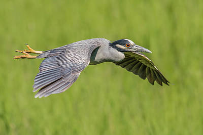 Birds In Flight At Night Photograph - Yellow-crowned Night-heron In Flight by Morris Finkelstein