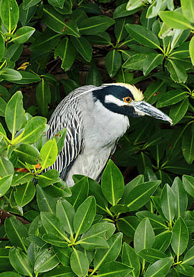 Photograph - Yellow-crowned Night-heron In Mangrove by Bob Slitzan