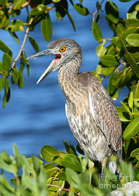 Photograph - Yellow-crowned Night Heron by Jennifer Zelik
