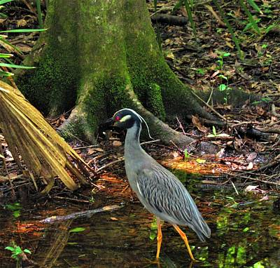 Photograph - Yellow Crowned Night Heron by Joshua Bales