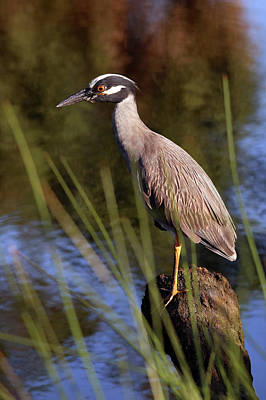 Photograph - Yellow-crowned Night Heron by Lamarre Labadie