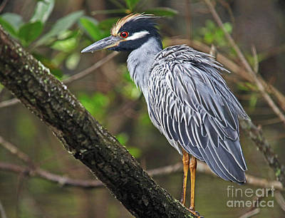Photograph - Yellow Crowned Night Heron by Larry Nieland